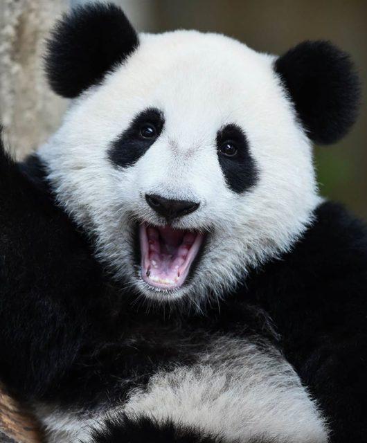 Panda Diplomacy